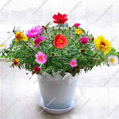 Portulaca Seed, Moss-rose Pourpier Plantes d'intérieur Fleurs doubles semences Balcon et cour Bonsai Seed en herbe Taux 95% 120 Pc 2