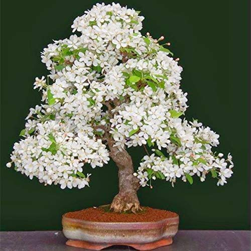 Bloom Green Co. 10 Unids Multi Color Flores de Cerezo Bonsai Bonsai Japonés Sakura DIY Home Garden Flores Hermoso Cerezo Perenne: 6