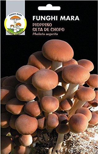 Micelio essiccato secco semi funghi Pioppino Seta De Chopo Pholiota Aegerita Gr 100