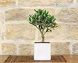 Bonsai di Olivo in vaso cubico bianco
