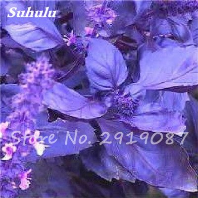 200 pièces rares Violet basilic Graines Bonsai Plante aromatique douce Ocimum basilicum Légumes Aromatique Graines Bonsai Pour la maison Cuisine 1