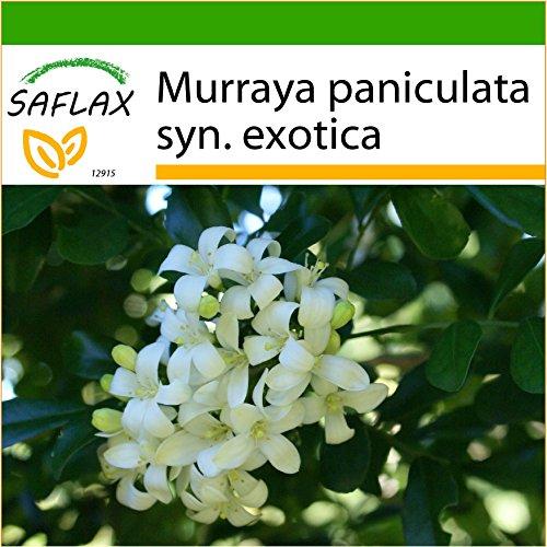 SAFLAX - Naranjo jazmín - 12 semillas - Con sustrato - Murraya paniculata syn. exotica