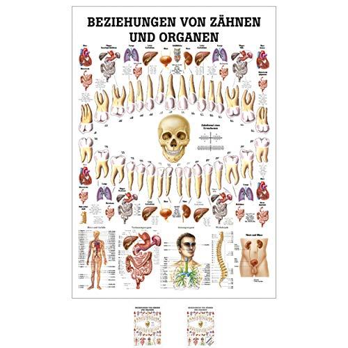 Ruediger Anatomie MIPO75 Beziehungen von Organen und Zähnen Tafel, 24 cm x 34 cm