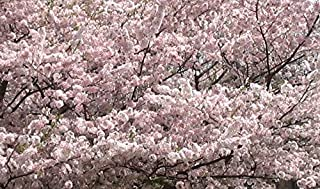 Yoshino Flowering Cherry Tree - Kanzan - Sekiyama Established Roots - Established Roots One Gallon Potted - 1 Plants by Growers Solution