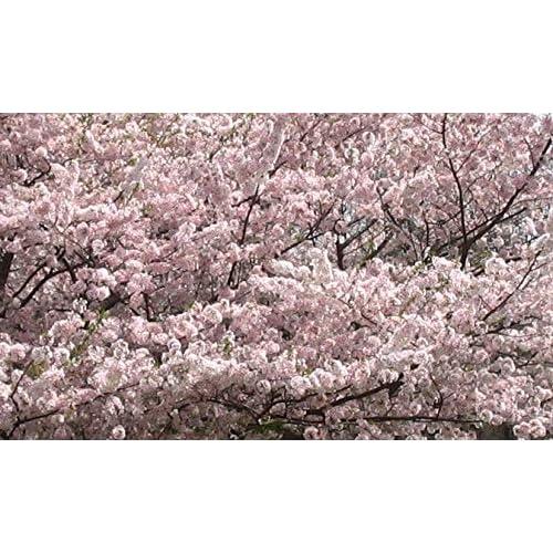 Amazon Com Weeping Yoshino Cherry Tree Shidare Established