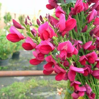 10 Stk. Ginster- Edelginster \'Boskoop Ruby -(Cytisus scoparius \'Boskoop Ruby\')- Topfware 15-25 cm