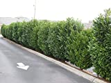 25 Schip Laurel Plants(Prunus Laurocerasus 'schipkansis'