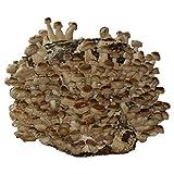 Hongos Hawlik - Cultura de shiitake orgánico para cultivar uno mismo - fácil de cosechar setas frescas