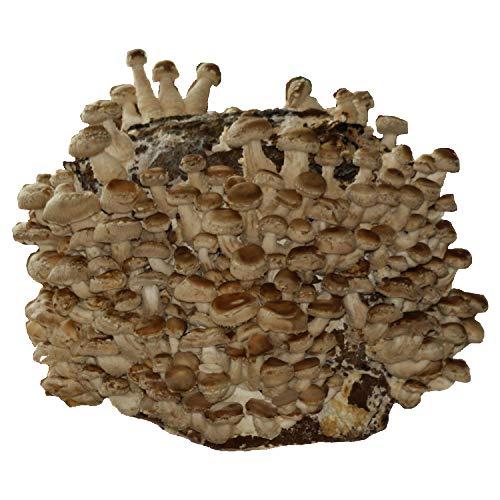 XXL BIO Shiitake Kultur zum selber züchten I Hawlik Pilzbrut I kinderleicht anbauen und ernten