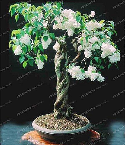50pcs Weißer Flieder Bonsai (Extremely Fragrant) Nelke Blume Syzygium Aromaticum Bonsai für Heim & Garten: 4