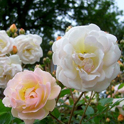 """Ramblerrose """"Ghislaine de Feligonde (Premium) - zartlachsgelb blühende Topfrose, im 6 L Topf - frisch aus der Gärtnerei - Pfllanzen-Kölle Gartenrose"""