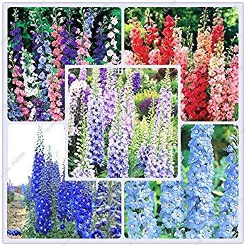 BloomGreen Co. Graines de fleurs: Lark GRIFFE Graines de fleurs vivaces papillon Graines de fleurs Jardin Attracting [jardin Graines Eco Pack] Graines de plantes
