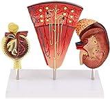 LBYLYH Modello di Modello di assemblaggio da Glomerulus Nephron Rene Rene Umano ingrandito con corpuscoli da Navi, per l'insegnamento Modelli Anatomici Umani