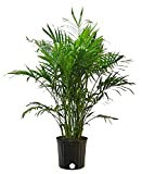 Costa Farms Cat Palm, Chamaedorea Palm Tree, Live Indoor Plant, 3 to...