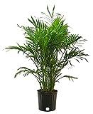 Costa Farms Cat Palm, Chamaedorea cataractarum, Live Plant, in Grower Pot, 3-Feet Tall