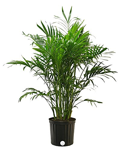 Sturdy Cat Palm can grow 3-feet tall