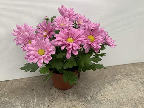 Margarita chrysanthemum - PACK 4 unidades - maceta 12cm. - altura total aprox. 20cm. - planta viva - (envíos sólo a península)