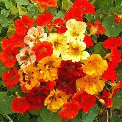 Ultra-Cheap Deals famous AchmadAnam - 1 3- Pound Nasturtium Ap Mix Ct 1333 Flower Jewel