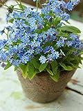 100% verdadera semilla magníficas azul Myosotis sylvatica flores de jardín semillas en macetas bonsai casa 100PCS no me olvides