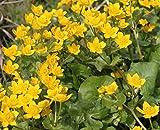 4er-Set im Gratis-Pflanzkorb - Caltha palustris - Sumpfdotterblume, gelb - Wasserpflanzen Wolff