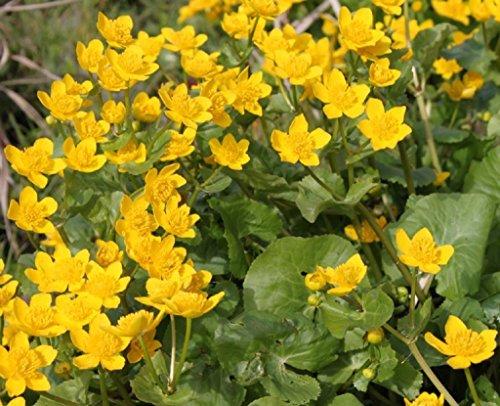 Wasserpflanzen Wolff - Caltha palustris - Sumpfdotterblume, gelb
