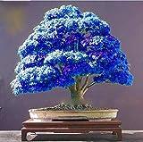 Rare Purple Blue Ghost Japanese Maple Tree Seeds, (Acer Palatum), Bonsai Flower Tree Seeds Plant for Home Garden - 20PCS