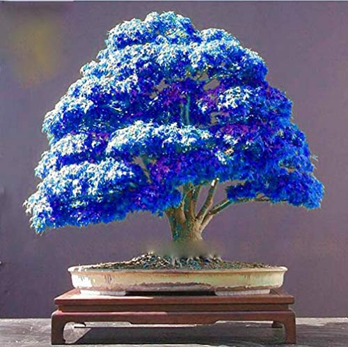 Rare Purple Blue Ghost Japanese Maple Tree Seeds, (Acer Palatum), Bonsai Flower Tree Seeds Plant for Home Garden - 20PCS