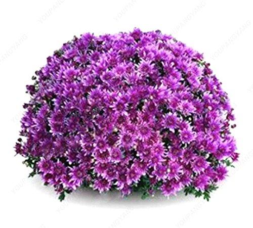 100pc arc-en-fleur de chrysanthème Graines d'ornement Bonsai Couleur Rare Plantes en pot pour le bricolage jardin Noir