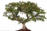 Cotoneaster horizontalis Semillas Rockspray Muestra de árboles bonsai o bien Color de la caída