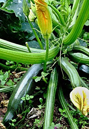 10 Zucchini 'Black Beauty' Samen, Cucurbita pepo, Courgette, sehr ertragreich