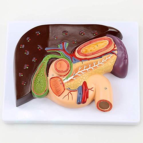 Herramientas de enseñanzaEnseñanza del Modelo anatómico esplénico Medicina Modelo de cálculos biliares duodenales de hígado, Modelo pancreático, cálculos biliares Modelo anatómico del bazo,
