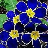 REDAPP 100Pz Semi di Primula da Sera Blu rari Facili da Coltivare Decorazioni da Giardino Fiori per Piante Piante di Facile Crescita Multicolore Fiore Decorativo pianta 1#