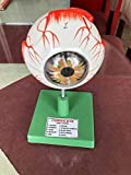 MV Educational Human Eye Ball Dissectable Model Biology Medical Study, Teacher's Learning and School Lab Material