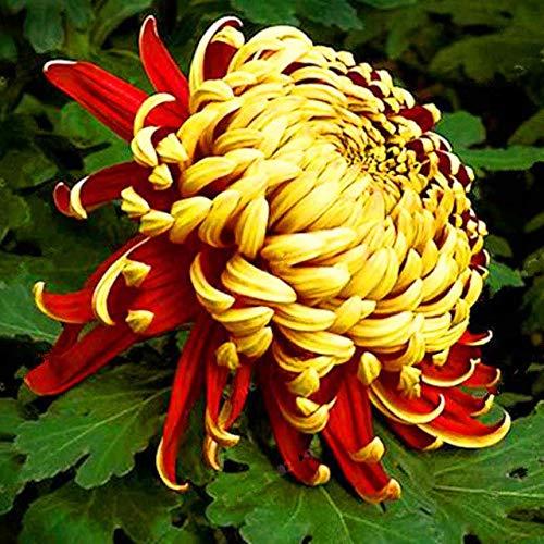 Elitely 35 Teile/beutel Mutter Chrysantheme Aster Samen Seltene Mehrjährige Blumensamen Indoor Blüte Samen Familie Garten: 7