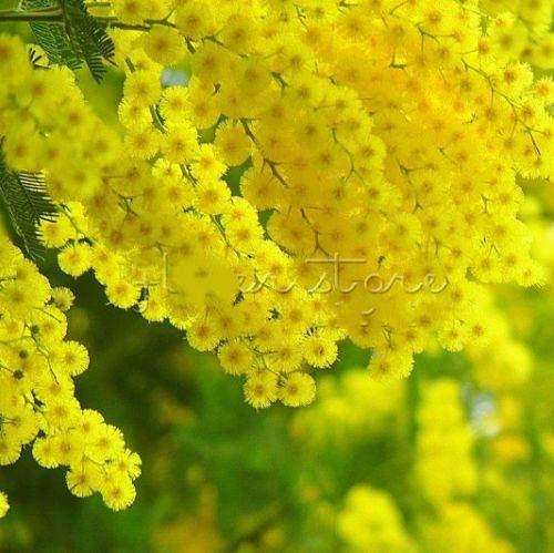 Pinkdose 20pcs plantes Mimosa d'or Rare Belle Acacia jaune mimosa Arbre Plantes jardin Plantes fleuries Noble BONSAĪ cadeau: Effacer