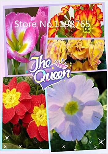 Multicolore: Promotion à prix spécial! 300 Primrose Seeds 10 Kinds Emballés Mixtes, Graines De Fleurs Germination Élevée De Jardin De Bricolage Blooming P