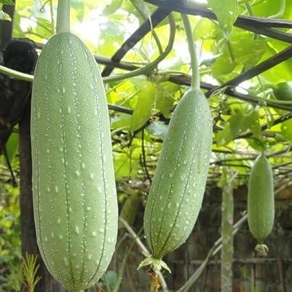 Amazon Com Semillas De Calabaza De Esponja De Esponja Vegetal Luffa Cylindrica 15 Semillas Jardín Y Exteriores