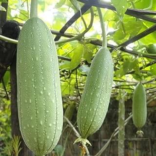 cucumber seeds india