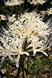 【山野草】白花ヒガンバナ