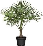 Palme, Hanfpalme - Höhe 80-100 cm Topf ca. 7,5l - Trachycarpus fortunei winterhart