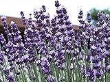 Lavender Vera/True Lavandula...image