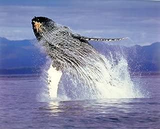 Humpback Sea Whale Ocean Animal Wall Decor Art Print Poster (16x20)