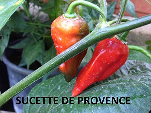 GRAINES DE PIMENT SUCETTE DE PROVENCE (LOLLIPOP)+ GUIDA COLTIVAZIONE