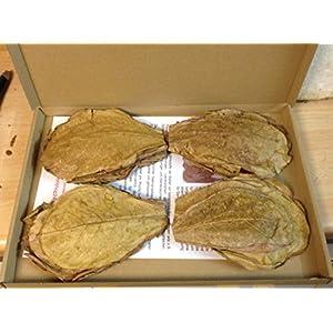 100-Gramm-NANO-ca10cmca100Stck-Seemandelbaumbltter-original-A-Markenware-von-catappa-leaves-BLITZVERSAND-Seemandellaub-Terminalia-Catappa-Leaves