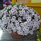 Fnho Ornamentales Semillas,Ornamentales para balcón, Jardín,Variedad, pélvica, en Maceta, Flor de Vid-VS_200grain (SIN Lavabo)
