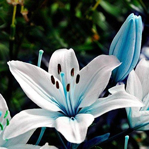 SummerRio 50 Stücke Lily Seeds Blau Liliensamen Balkon Pflanze Blumensamen Winterhart Mehrjährig