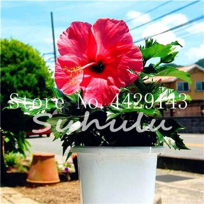 100 PC/Bag Riesen Hibiskus Bonsai Hibiskus-Blume Pflanze im Freien Pflanze Bonsai Blume für Hausgarten einfach zu wachsen: Gelb