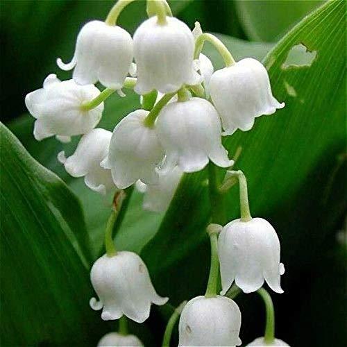 クリア:50個入りスズランの花の種屋内珍しい鈴蘭の種豊かな香り盆栽の花の種キュートで美しい植物