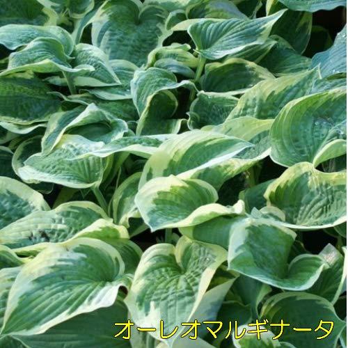 ホスタ(ギボウシ) 選べる10種 1株 シェードガーデン 日陰 丈夫で増える (オーレオマルギナータ)