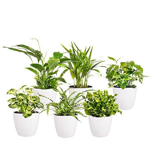 Ecoworld Luftreinigung Zimmerpflanzen - 6 Stück - Topfgröße Ø 12 cm - Pflanzenhöhe 25-40 cm + Elho Töpfe Weiß